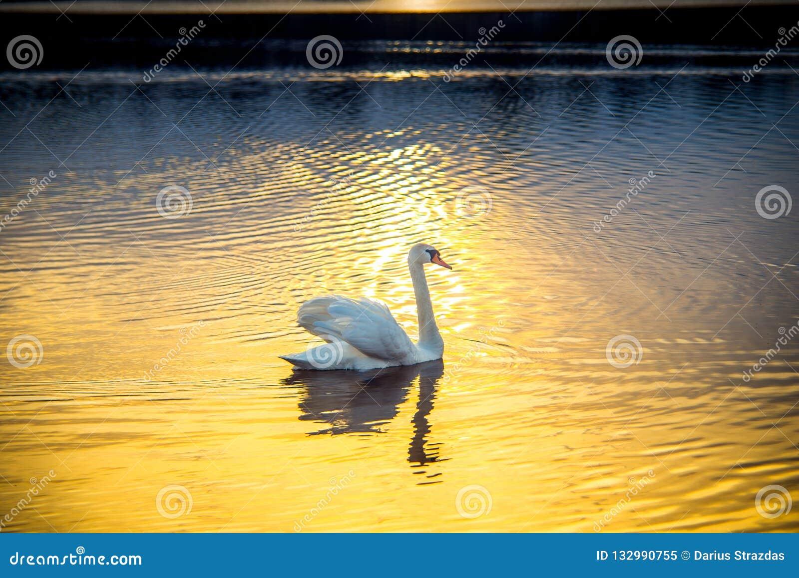 Cisne solamente en la puesta del sol en el lago