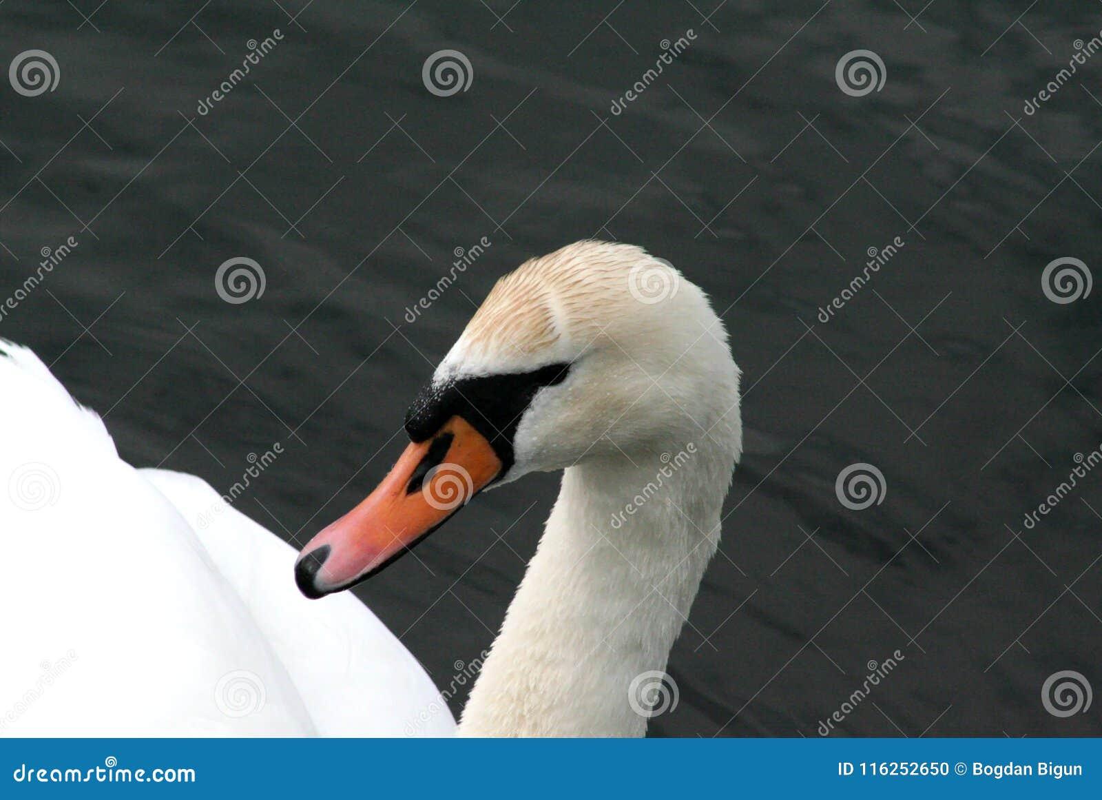 Cisne solo en busca del amor