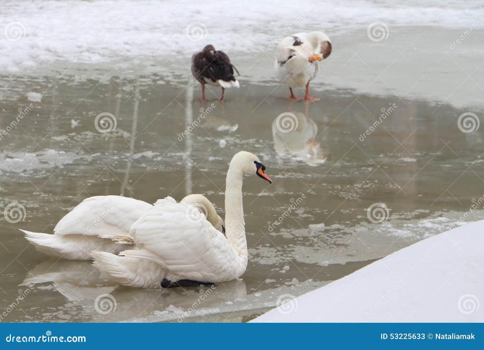 Cisne y patos en el lago