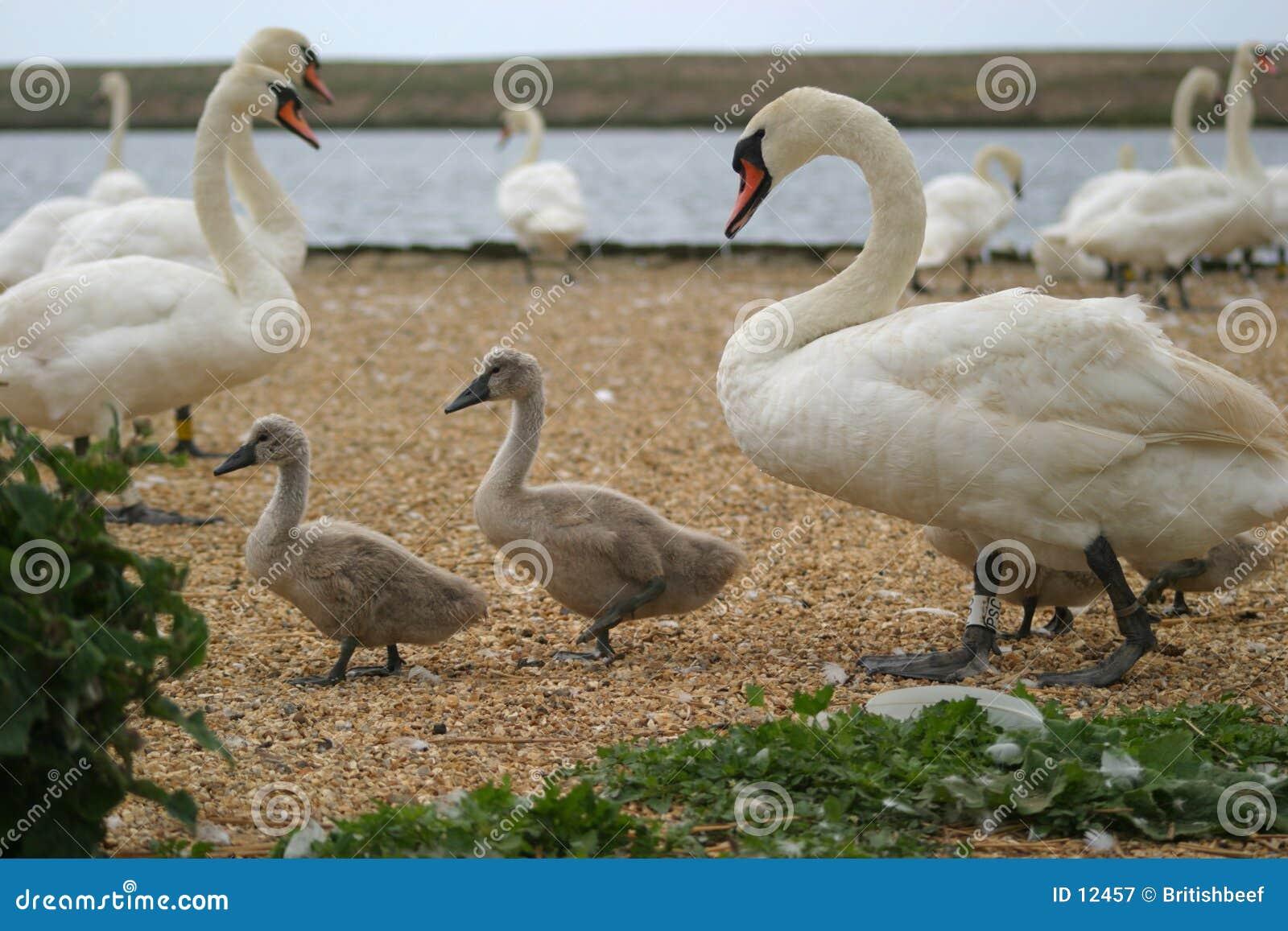 Cisne y pollos del cisne