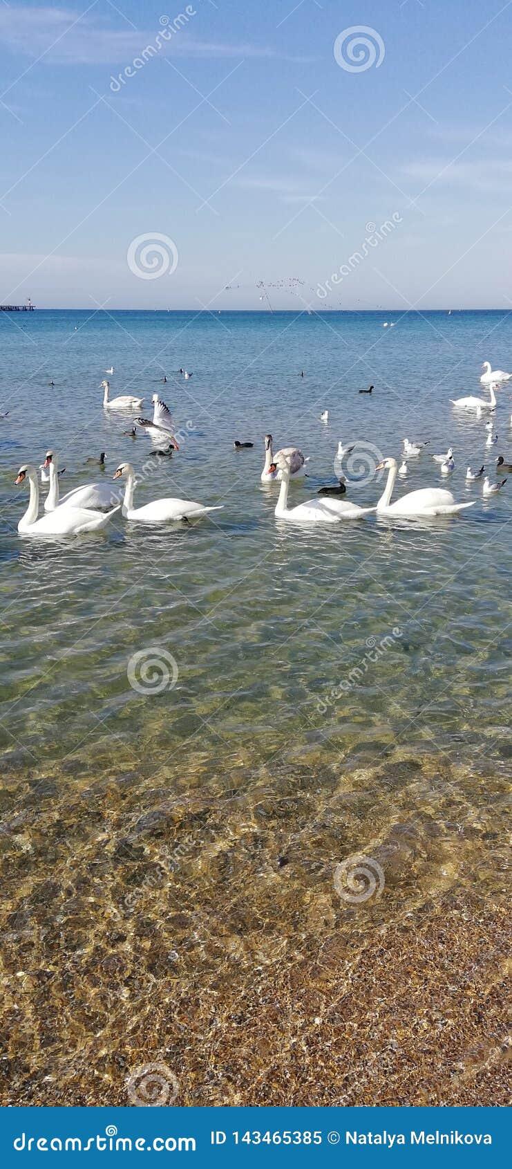 Cisnes bonitas e brilho do sol na água do mar