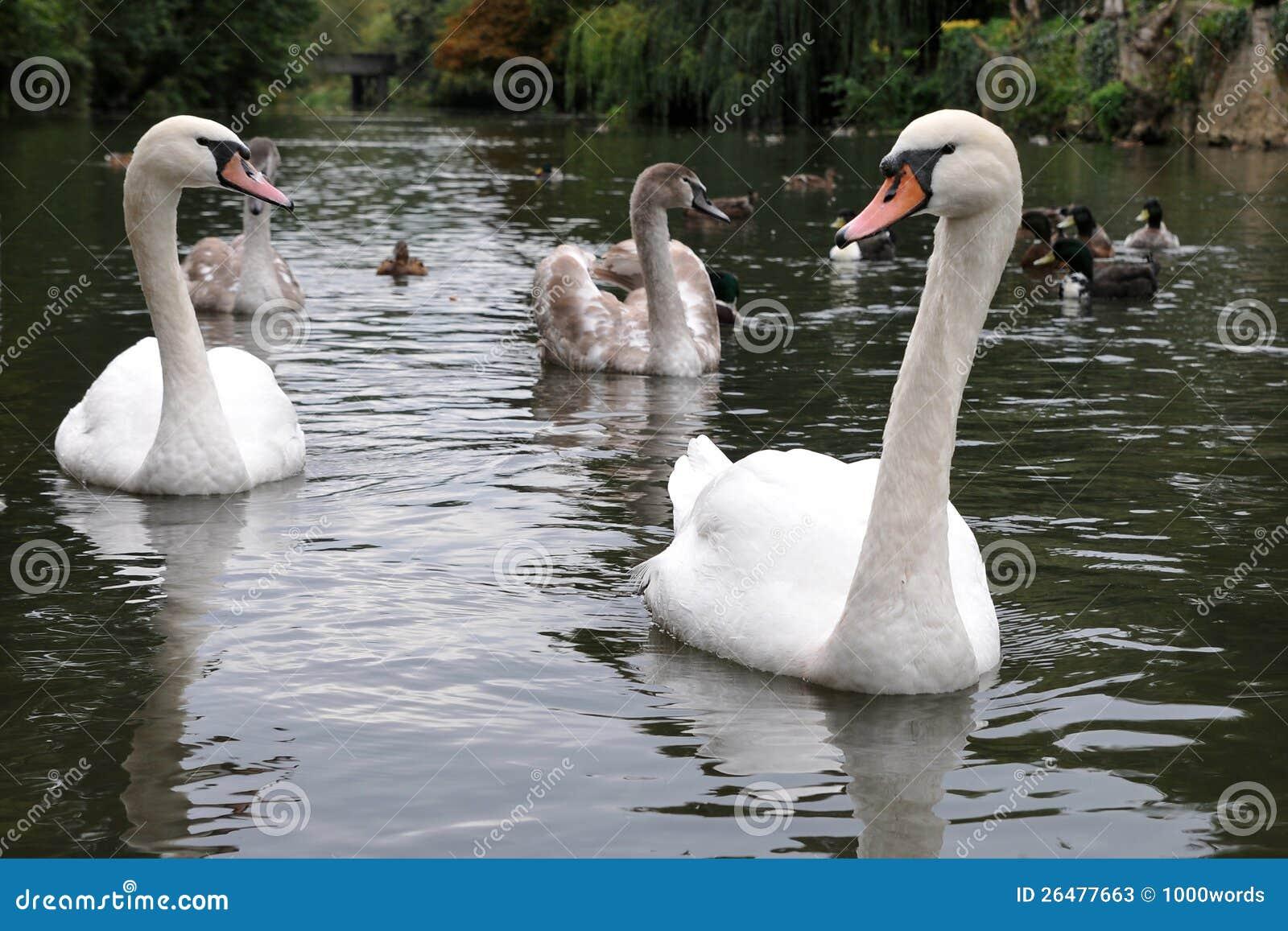 Cisnes e Cygnets em um rio