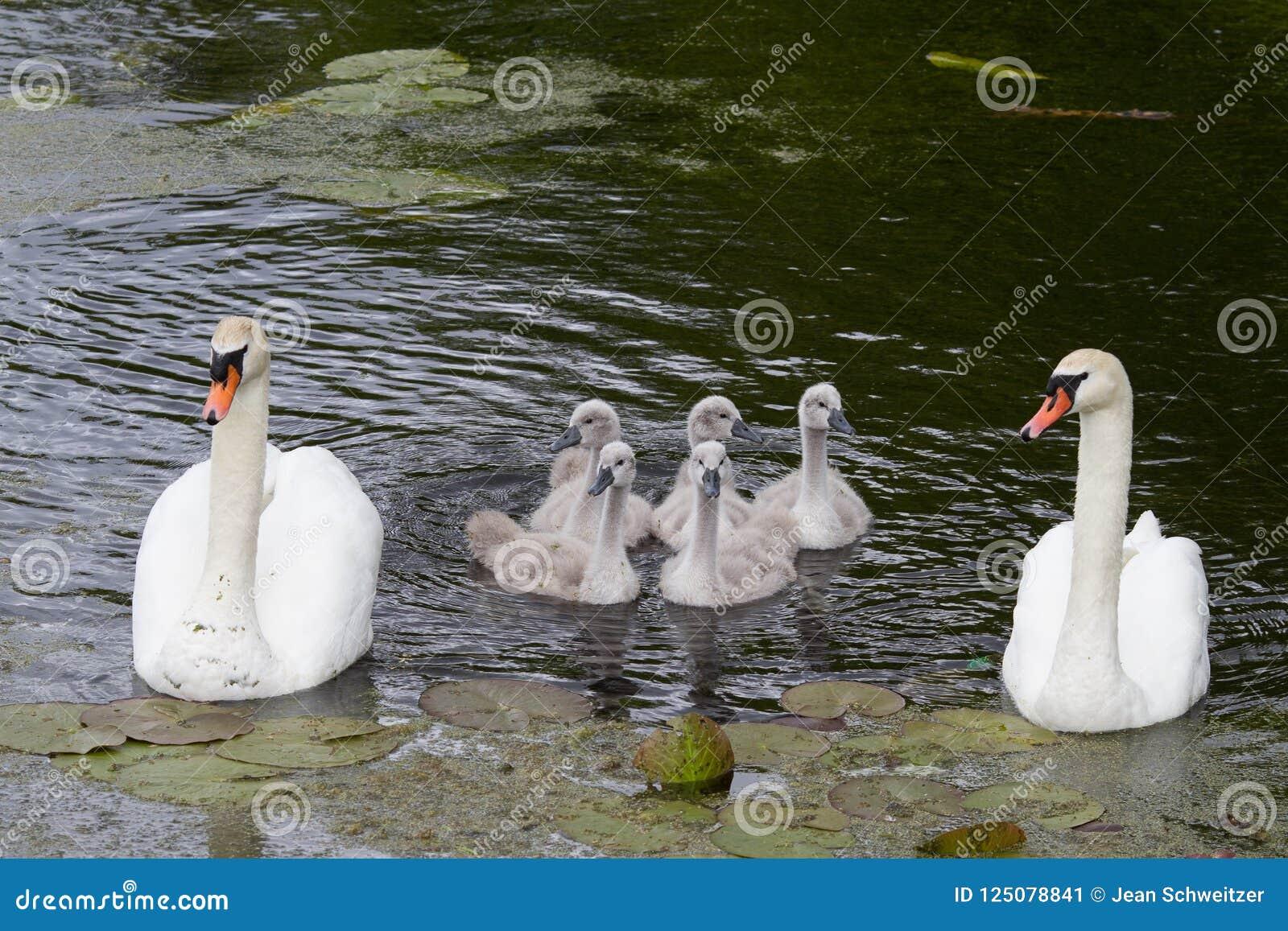 Cisnes e cisnes novos