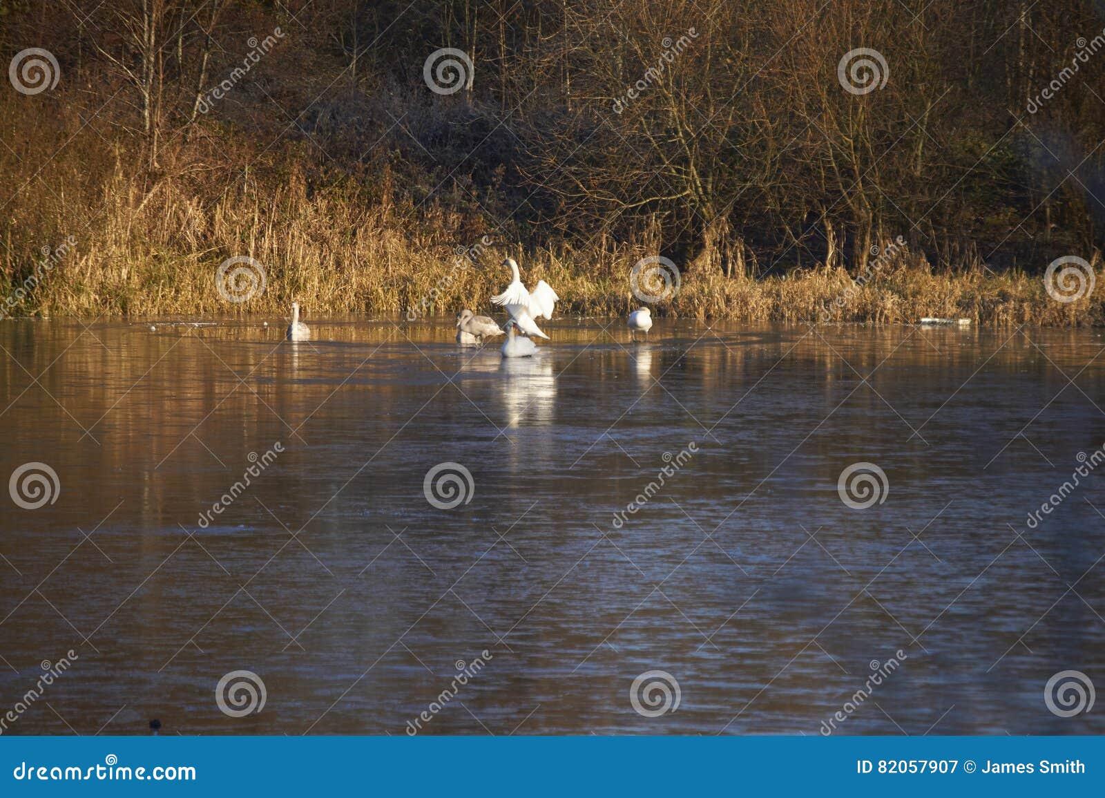 Cisnes e sinetes