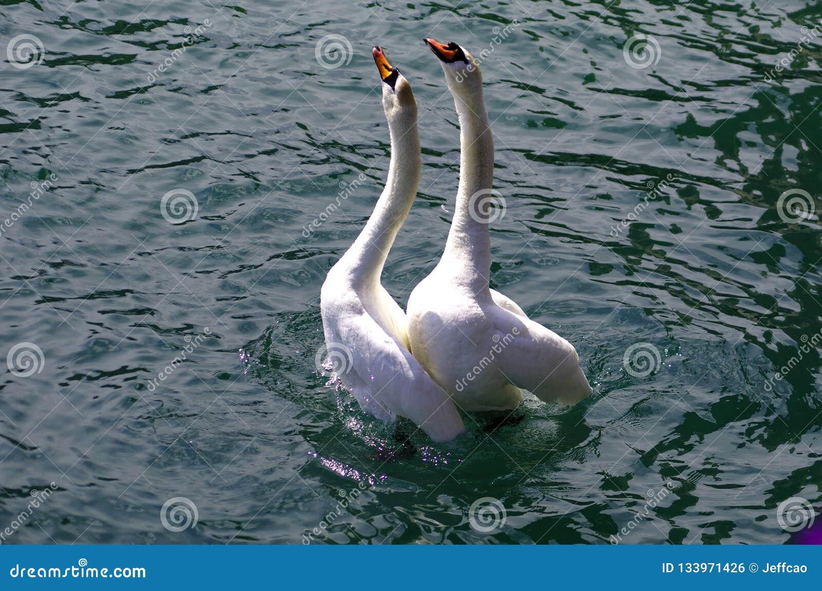 Cisnes en amor