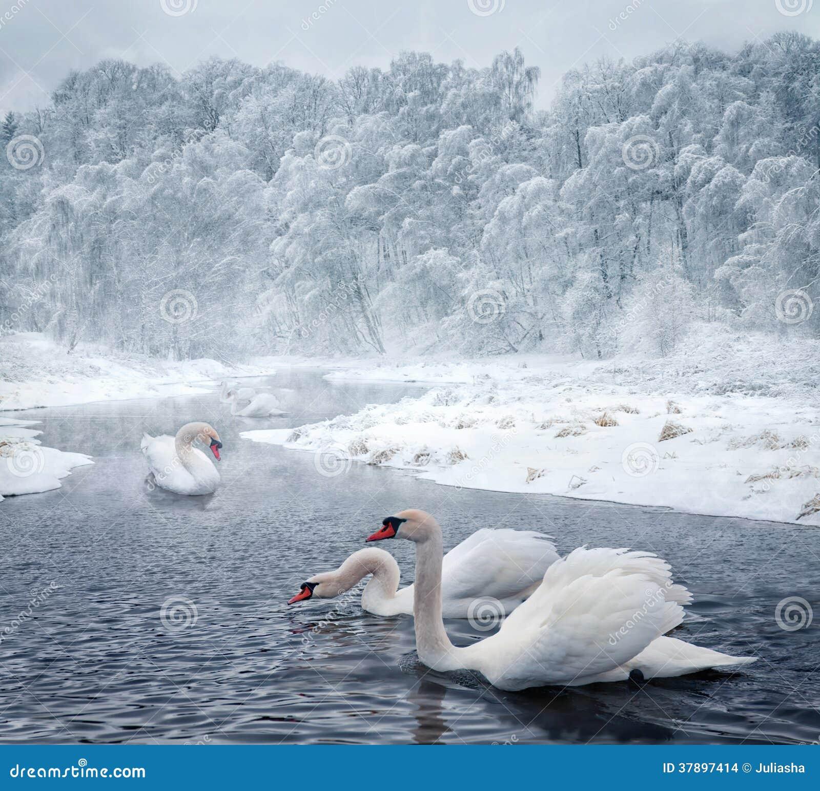 Cisnes en el lago del invierno