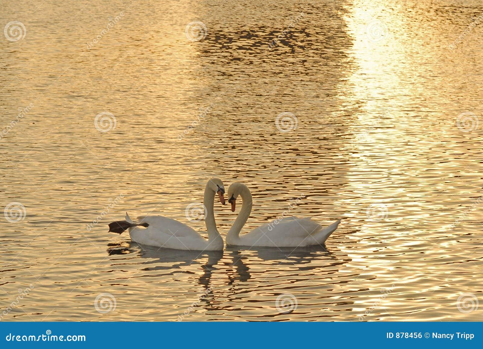 Cisnes en la puesta del sol