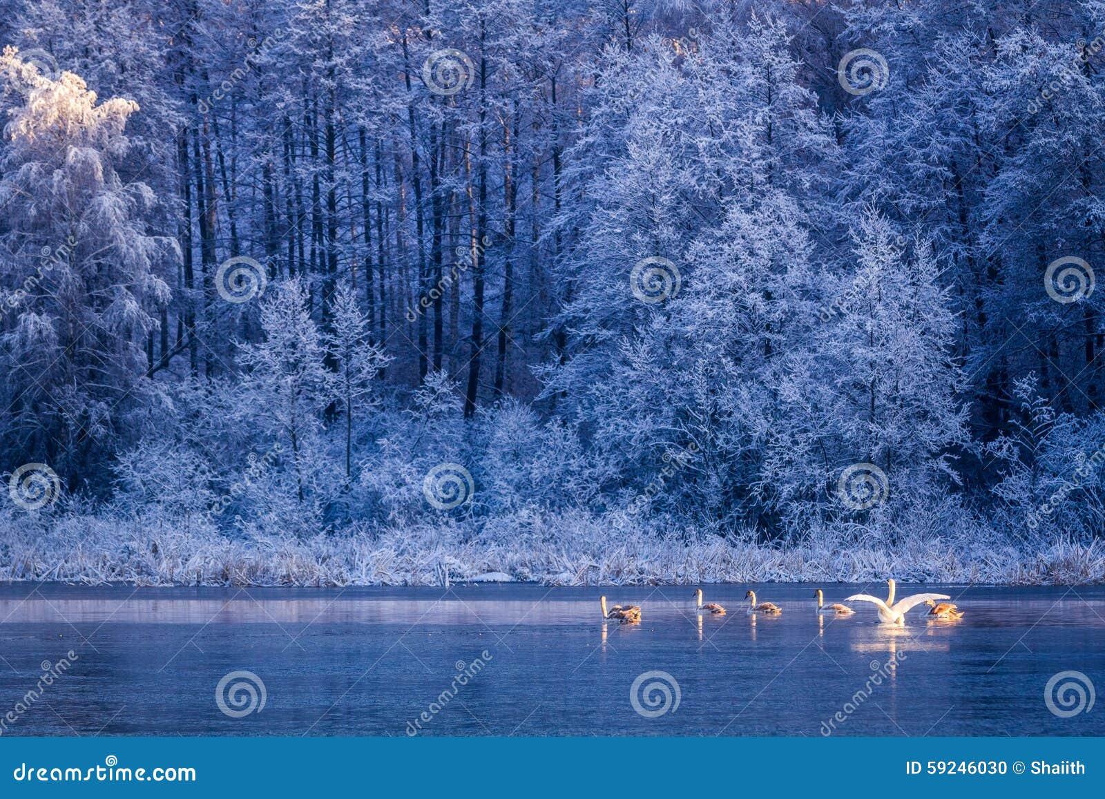 Cisnes en la salida del sol en el lago del invierno