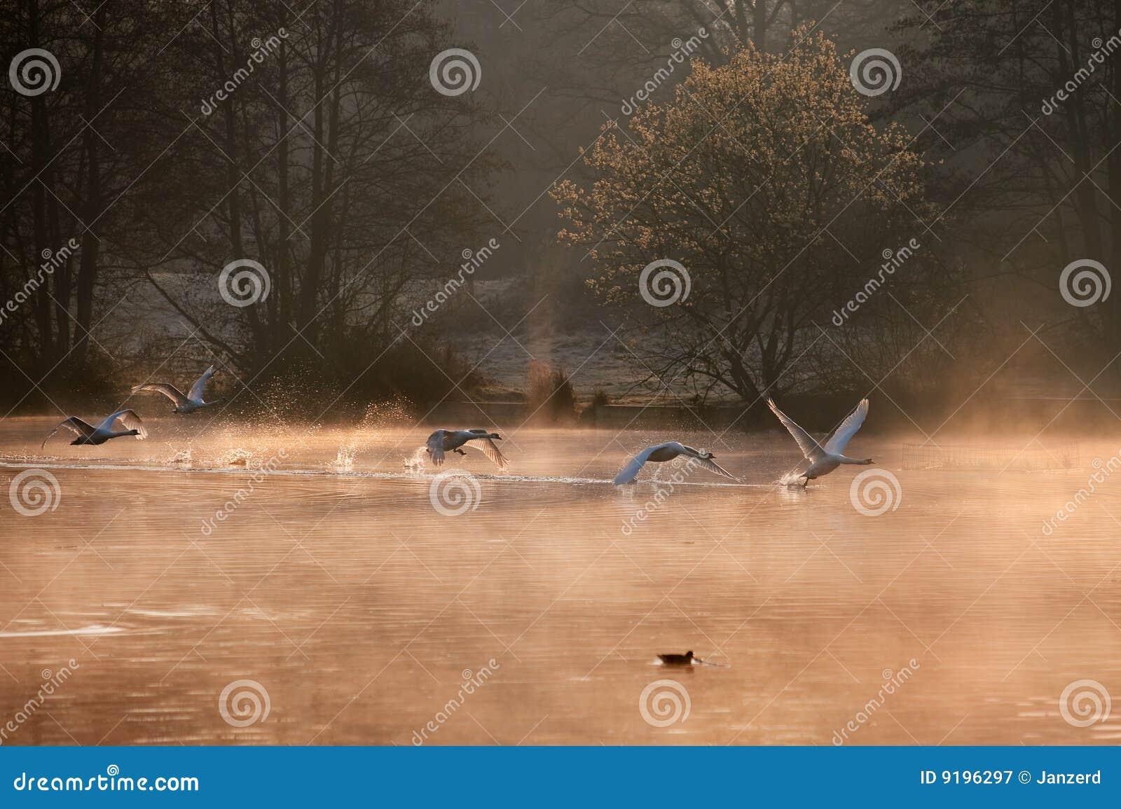 Cisnes mudas