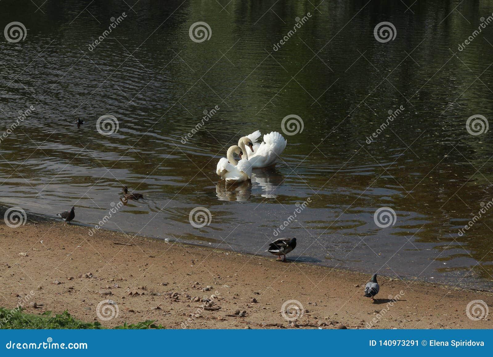 Cisnes na lagoa