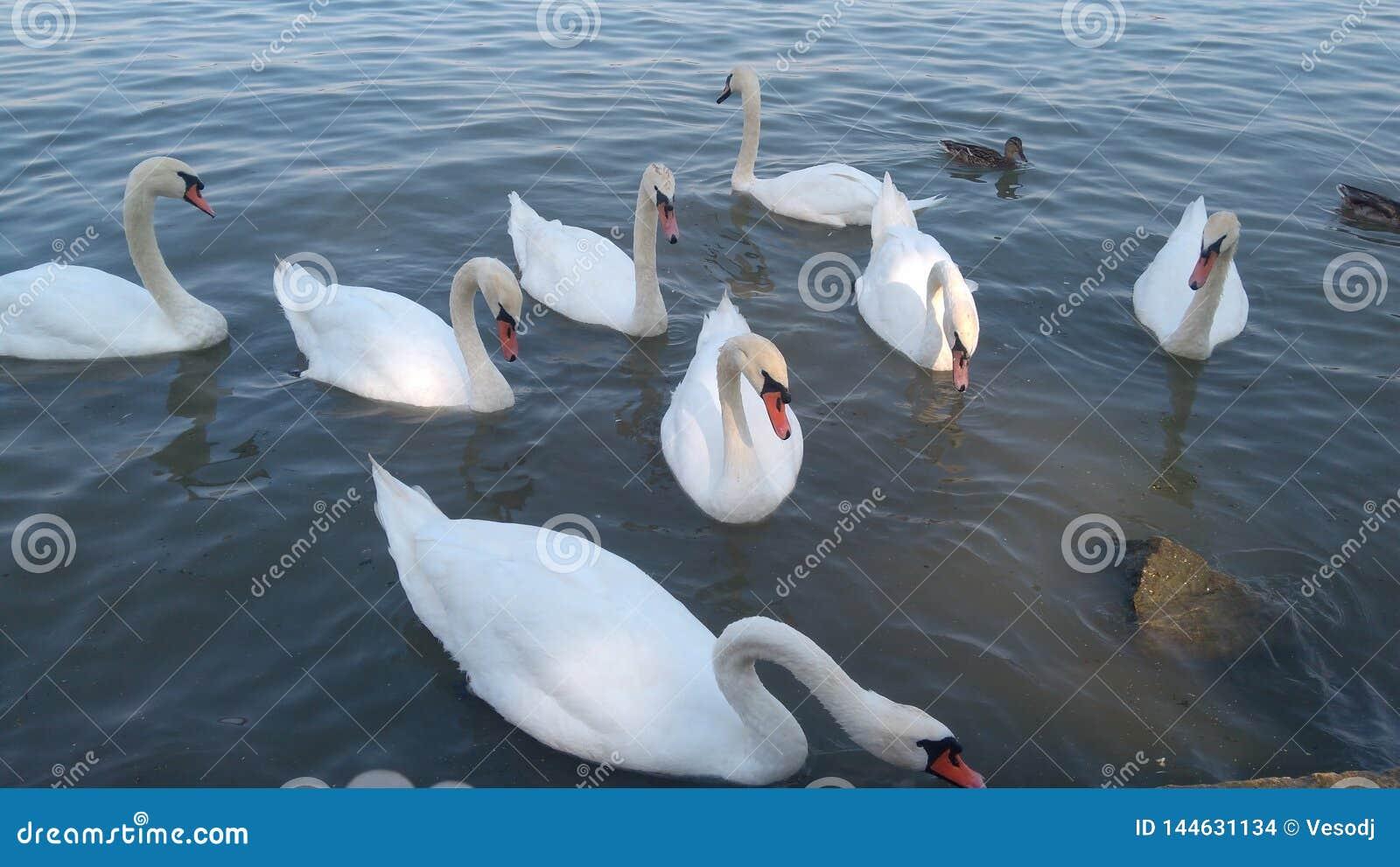 Cisnes no rio Dan?bio