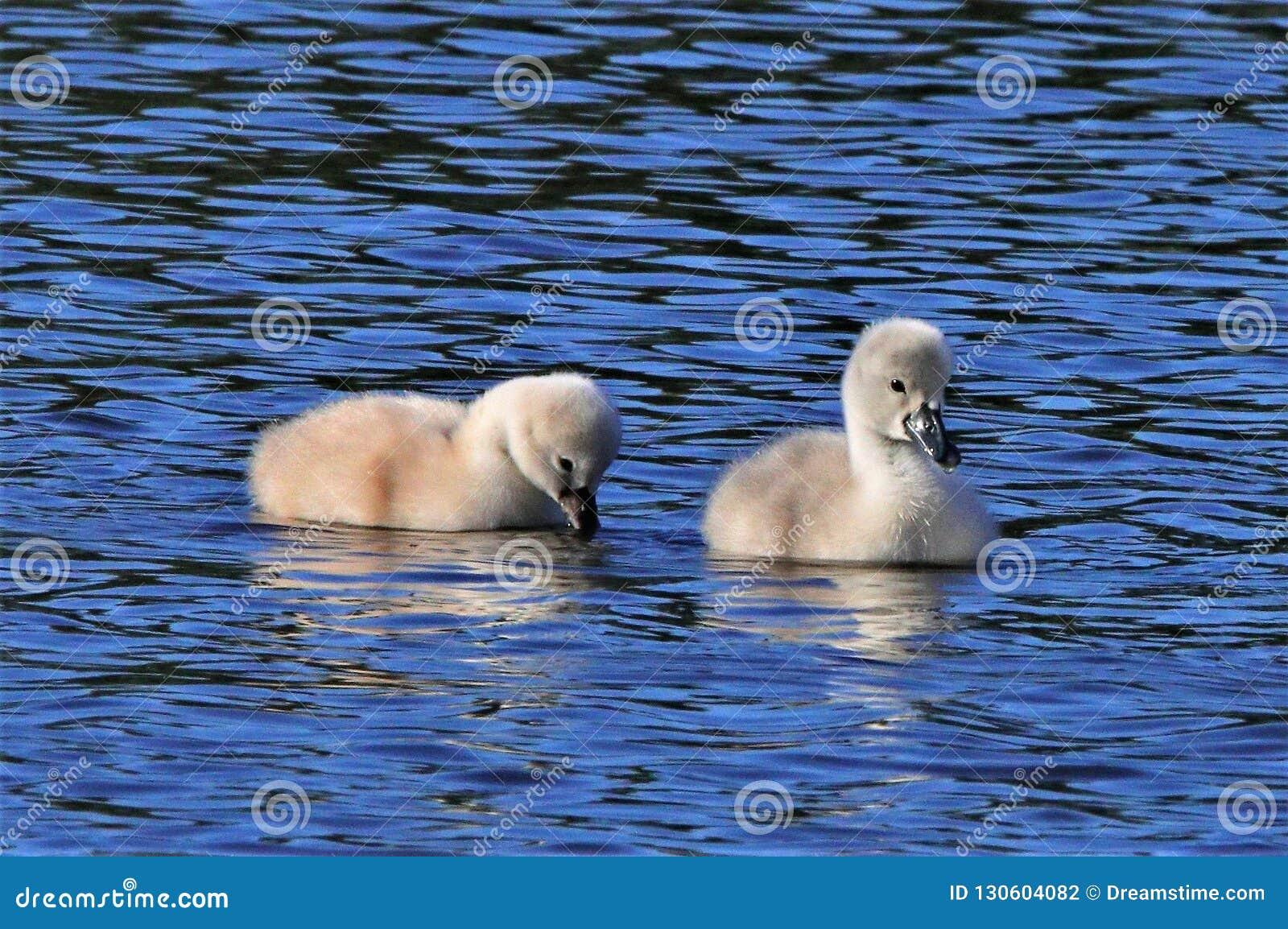 Cisnes novos do bebê na corrida