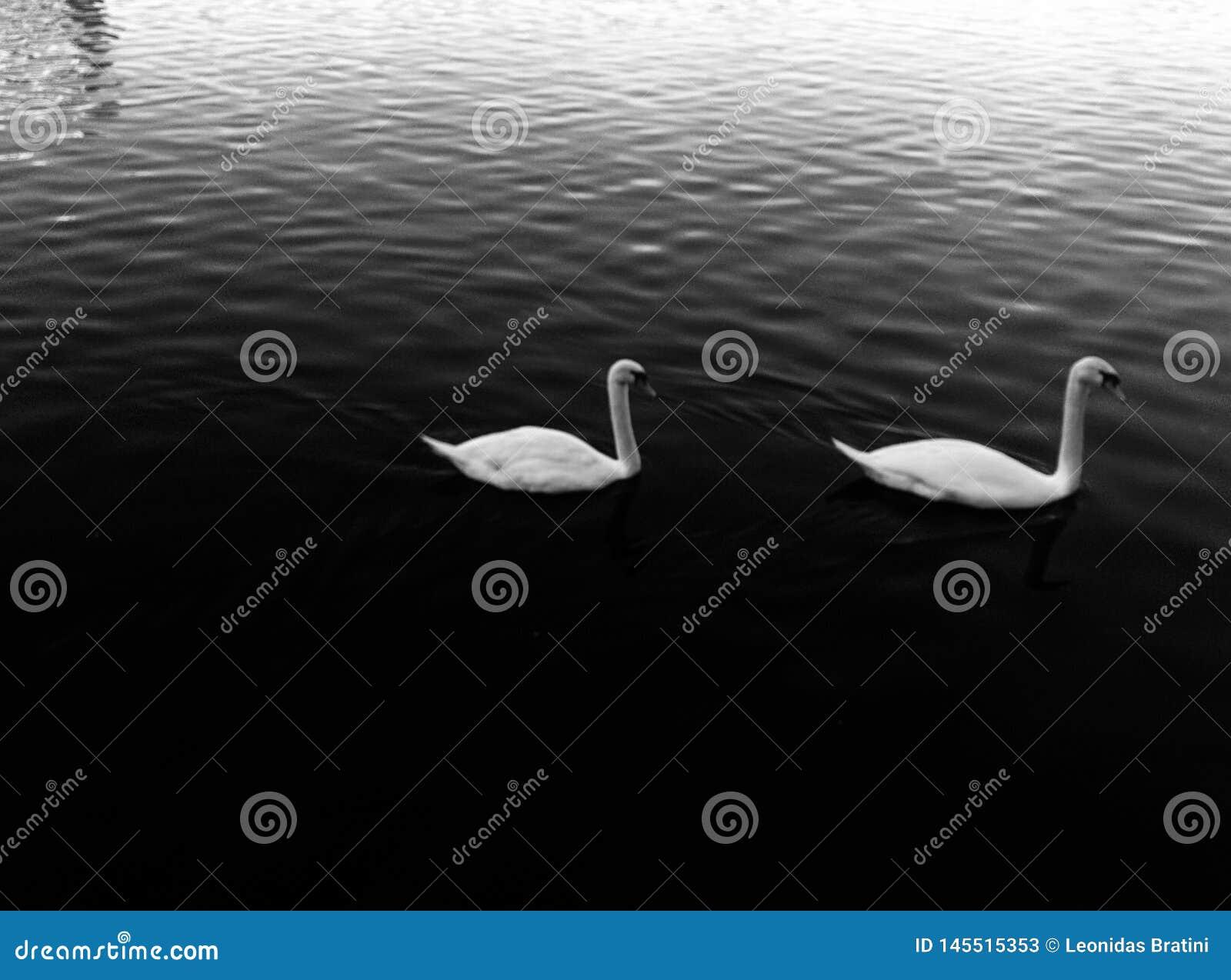 Cisnes para fora para uma nadada em torno do lago