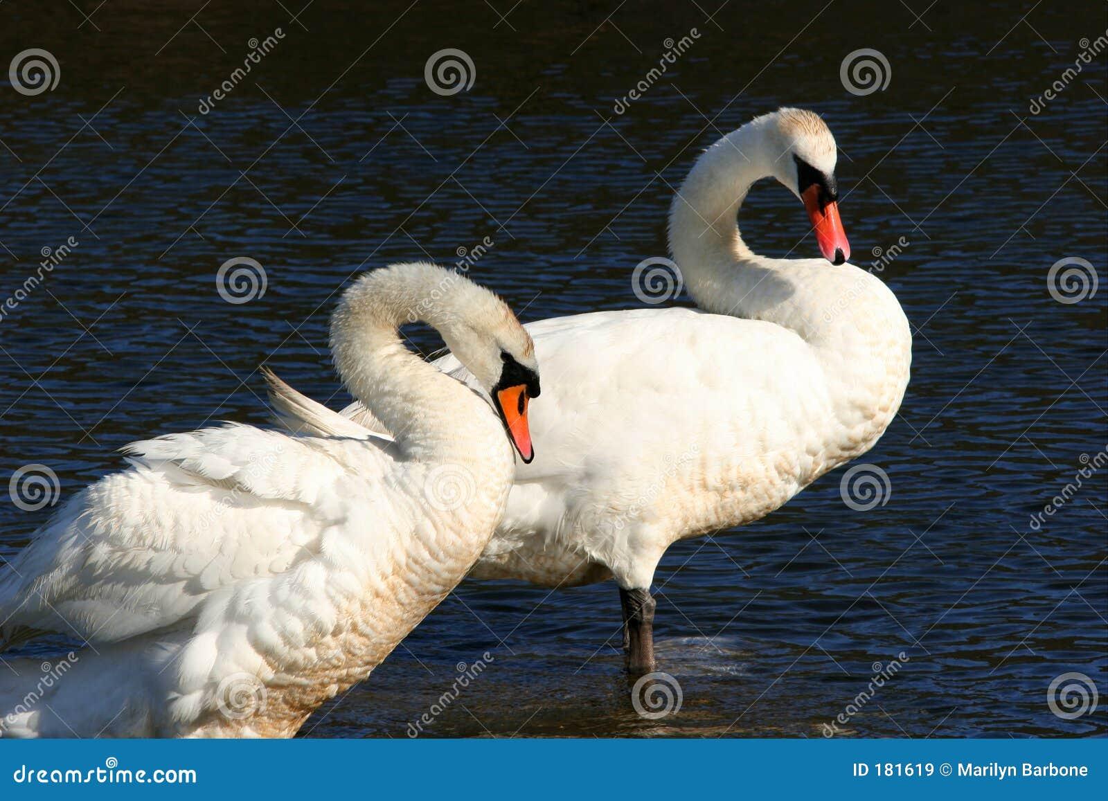Cisnes, por siempre junto,