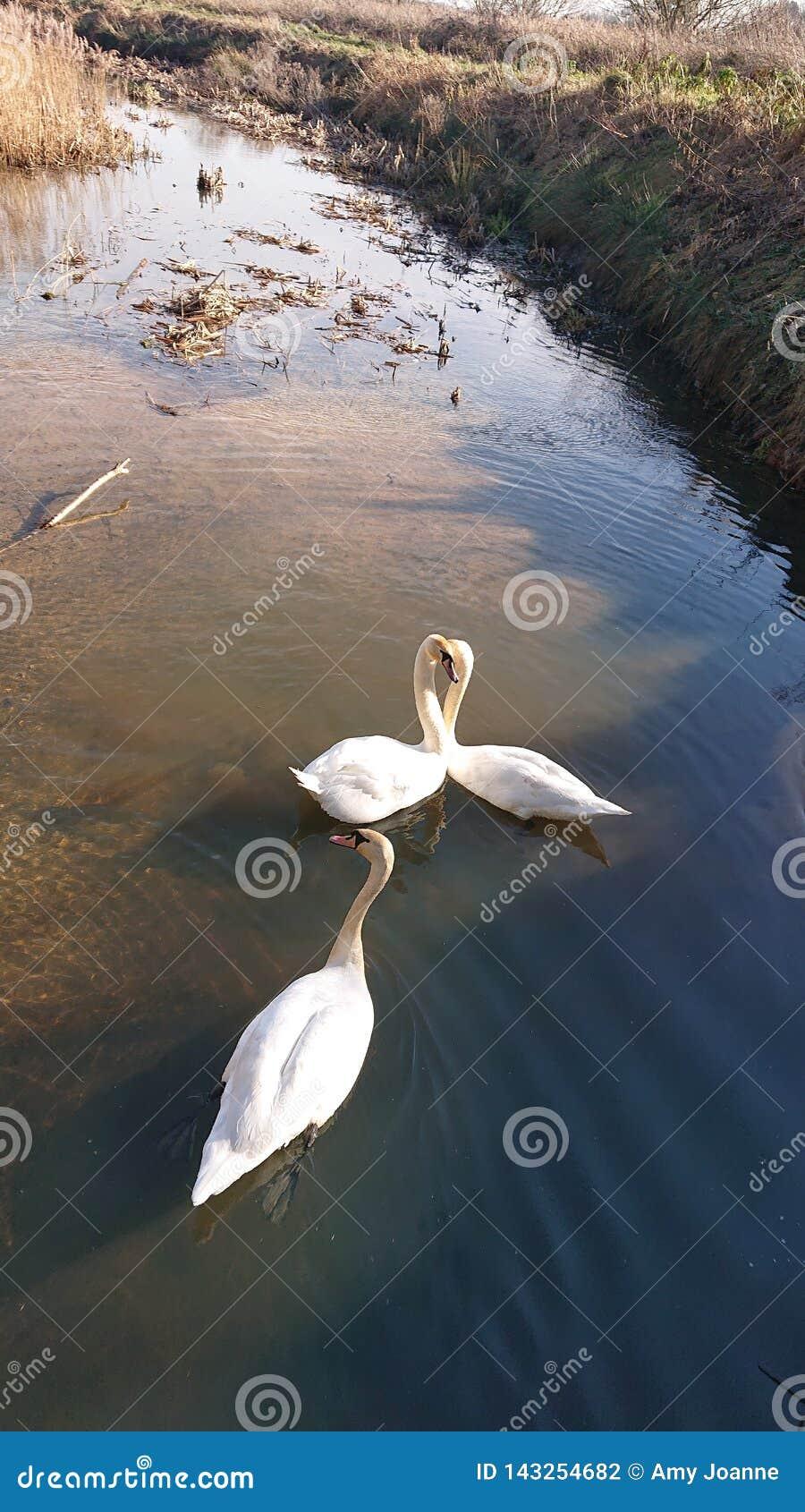 Cisnes que nadam o amor da vida do lago
