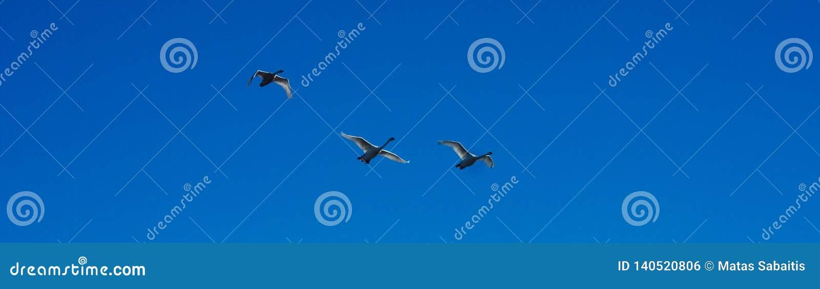 Cisnes que voam na formação de volta à casa do sul