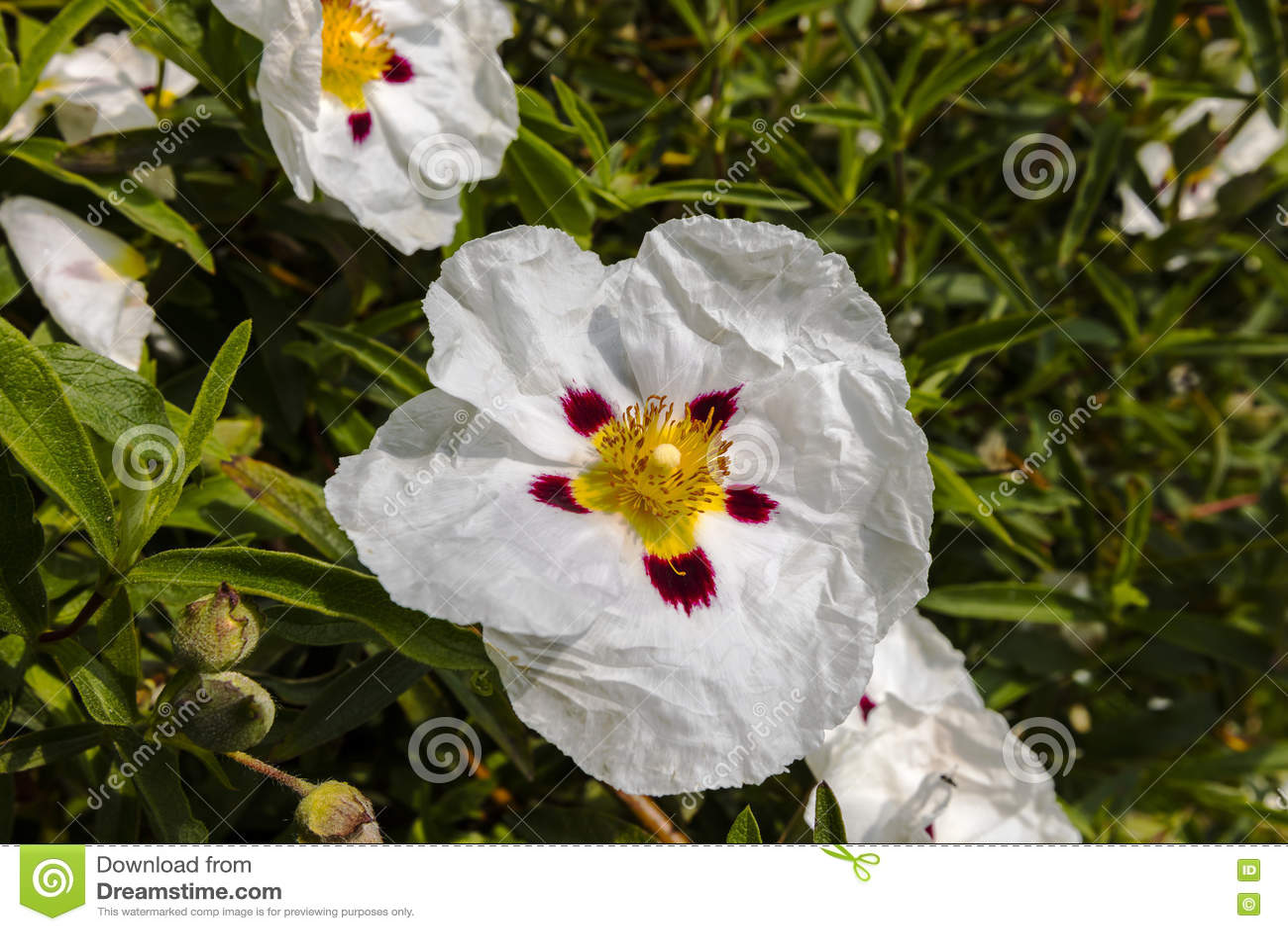 Cistus Decorative Flowering Shrub With White Flowers Stock Photo