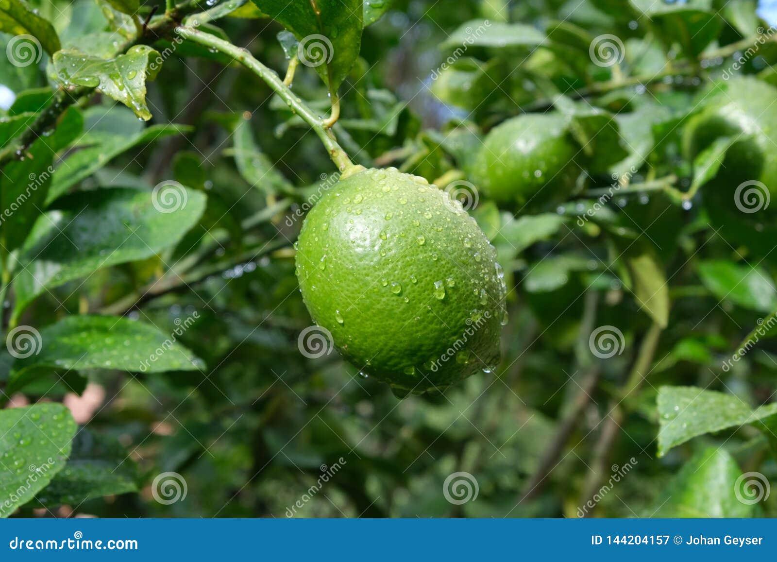 Citroenen die op een citroenboom rijpen