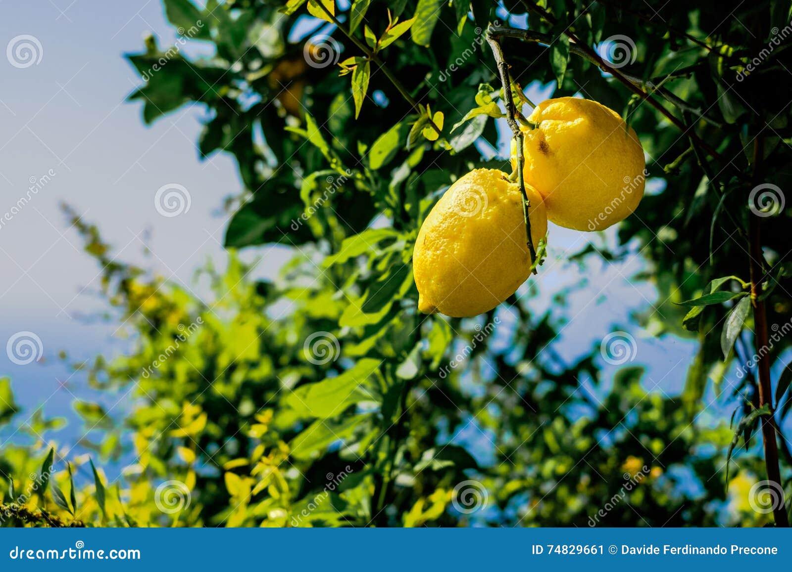 vitamine citroen