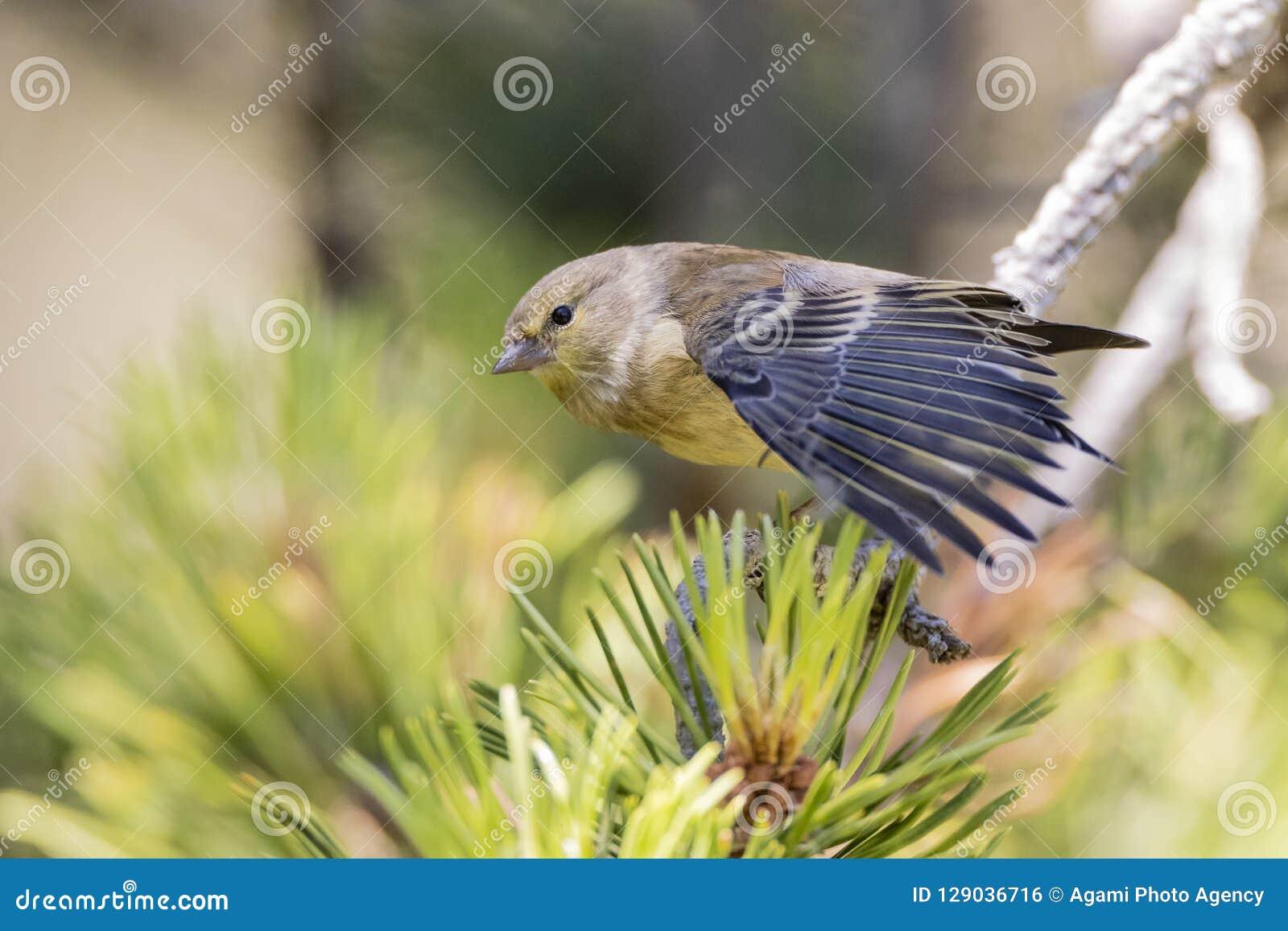 Citroenkanarie, Finch Citril, citrinella Serinus