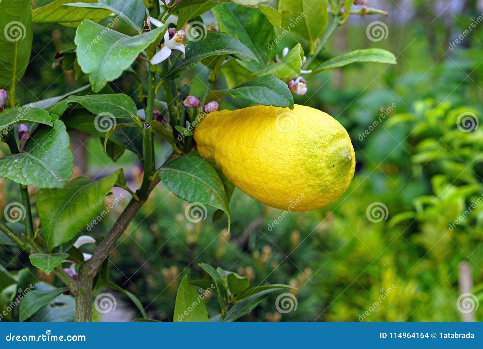 Citron på trädet