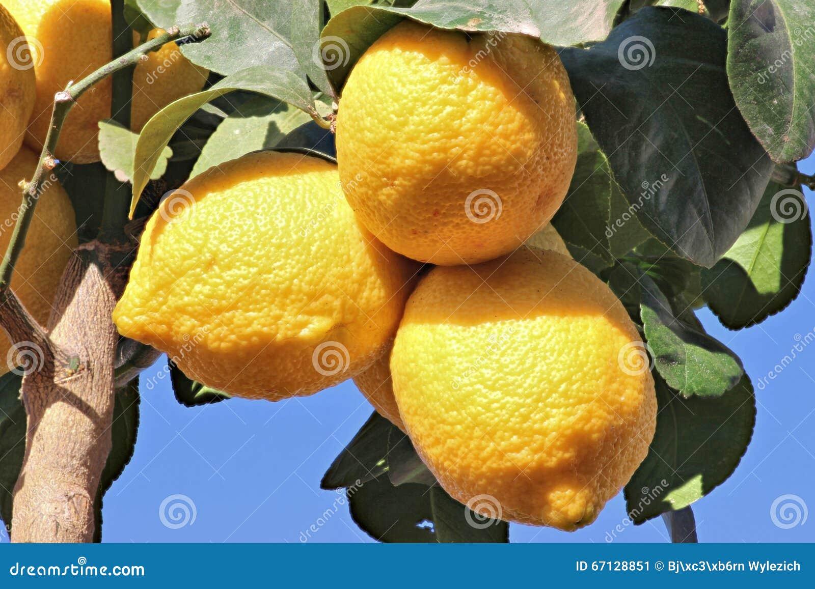 Citroner i tillväxt