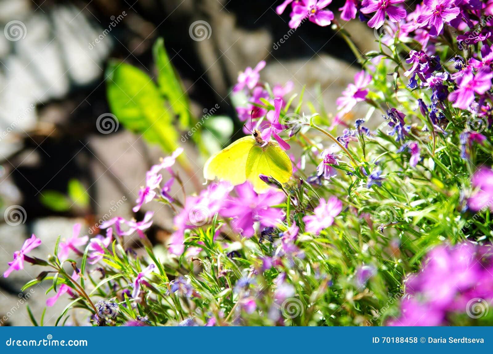 Citronfjäril på blommor