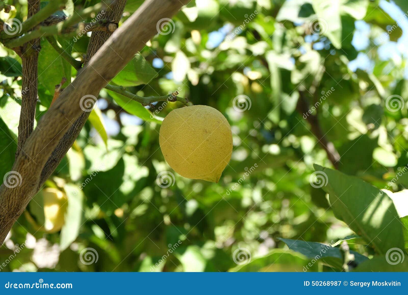 Citrons jaunes accrochant sur l 39 arbre photo stock image for Portent fruit
