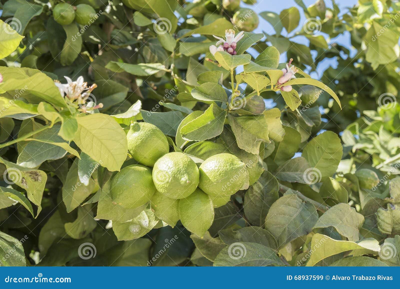 citrons non mûrs sur l'arbre, fleur de citron image stock - image du