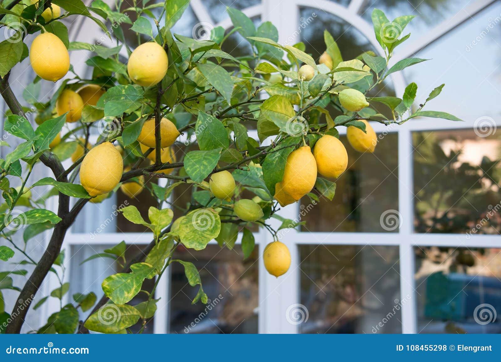 Citronträd vid fönstret