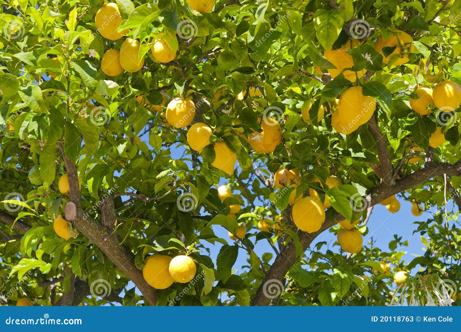 Citrontree