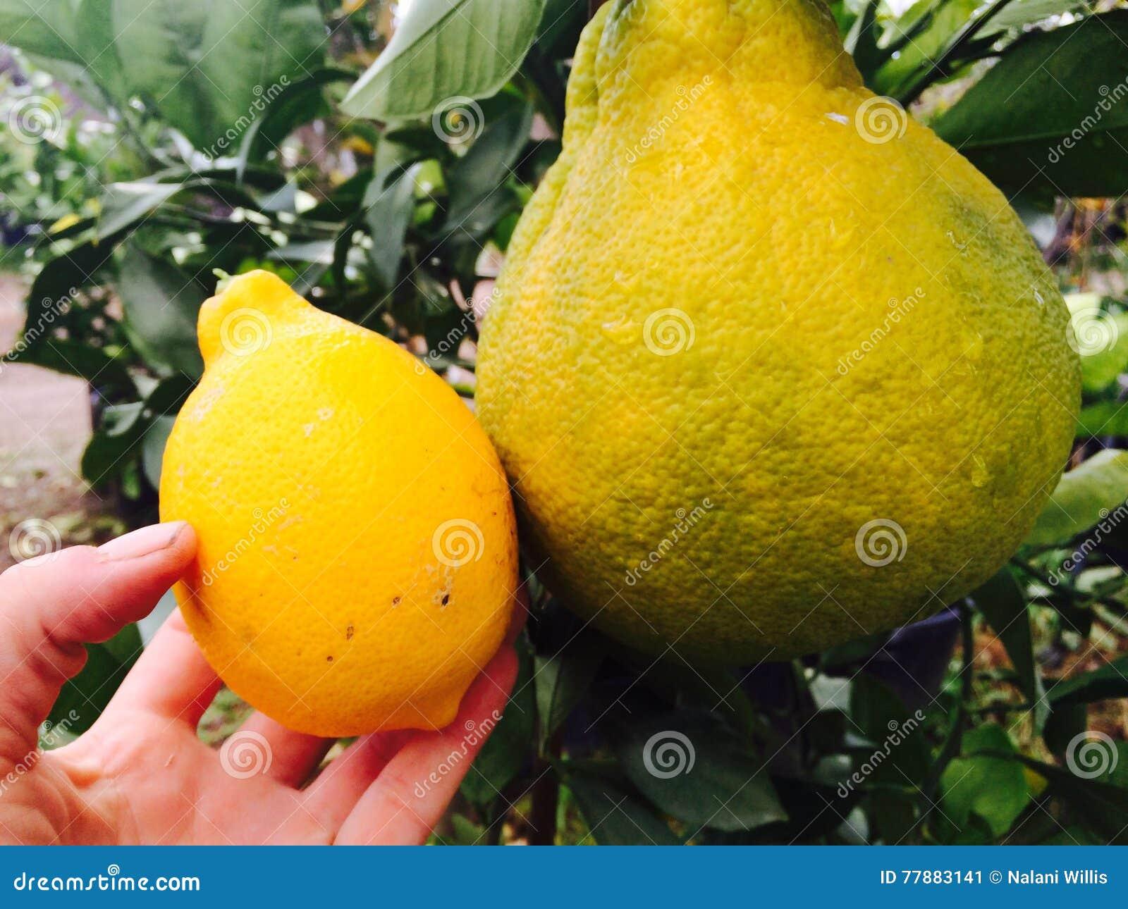 Citrus Foto de archivo