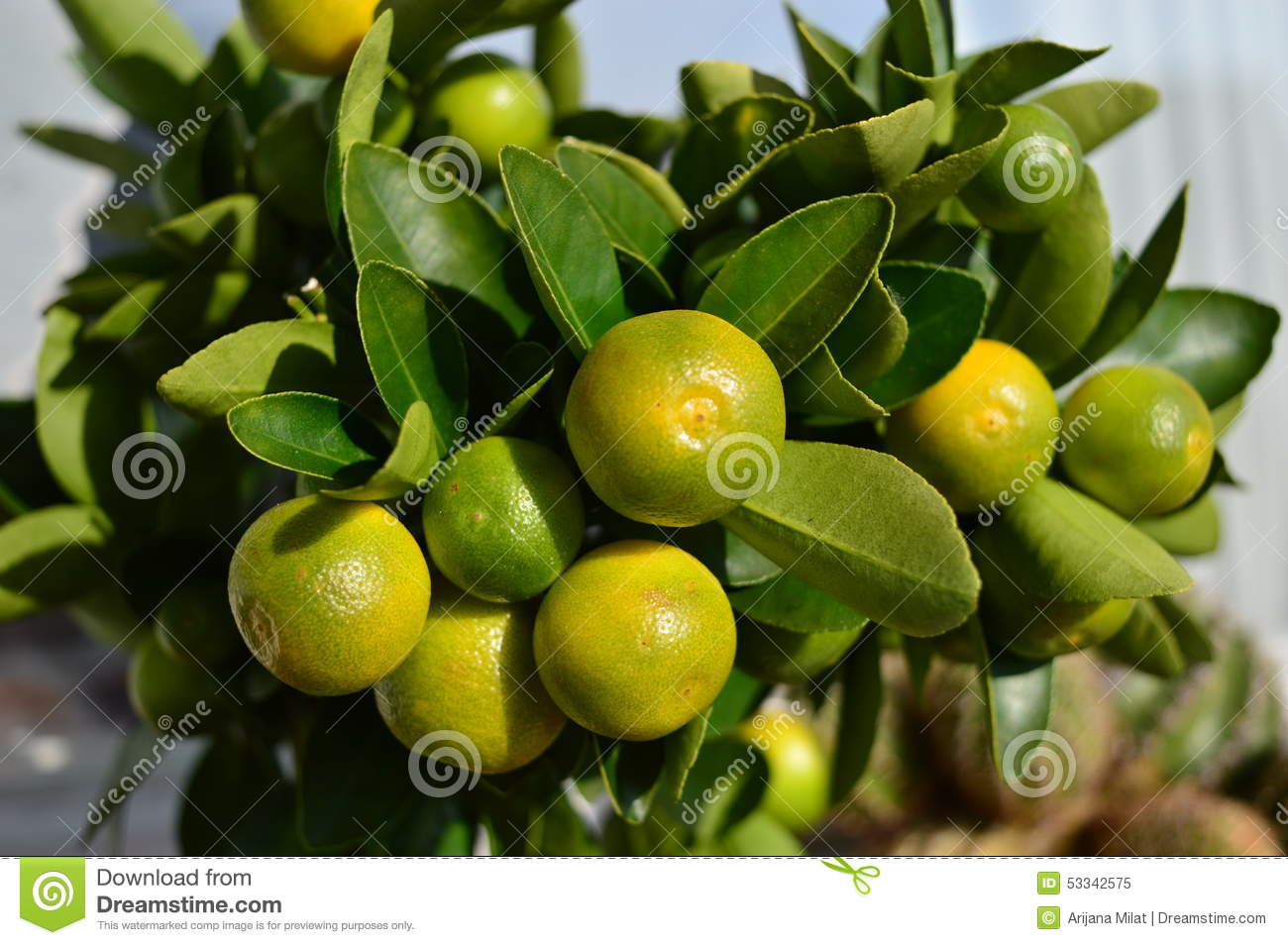 citrus calamondin stock image image of orange ornamental 53342575. Black Bedroom Furniture Sets. Home Design Ideas