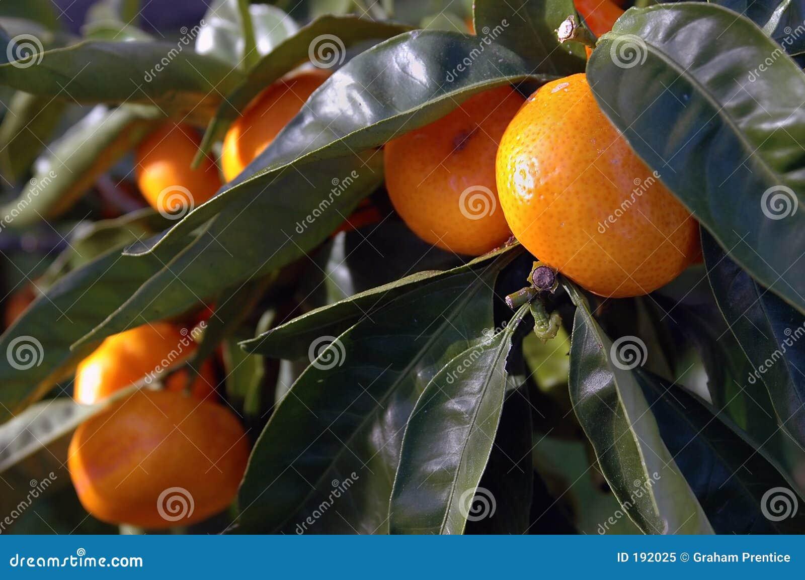 Citrus Fruit Growing