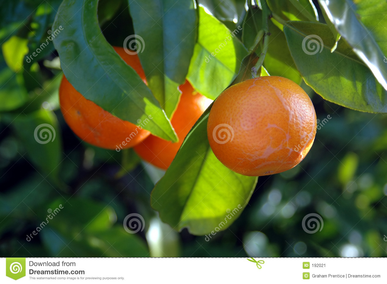 Citrus Fruit on the tree