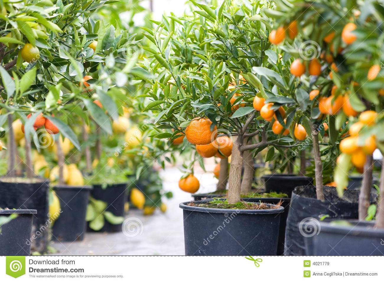 Citrus garden full of small trees