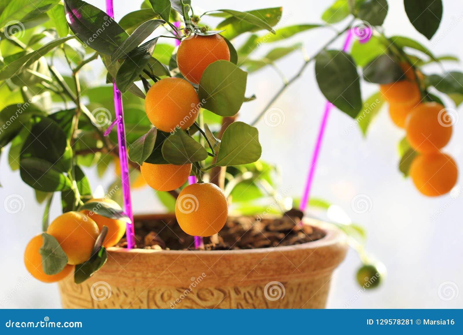 Citrus kumquat in houseplants close up