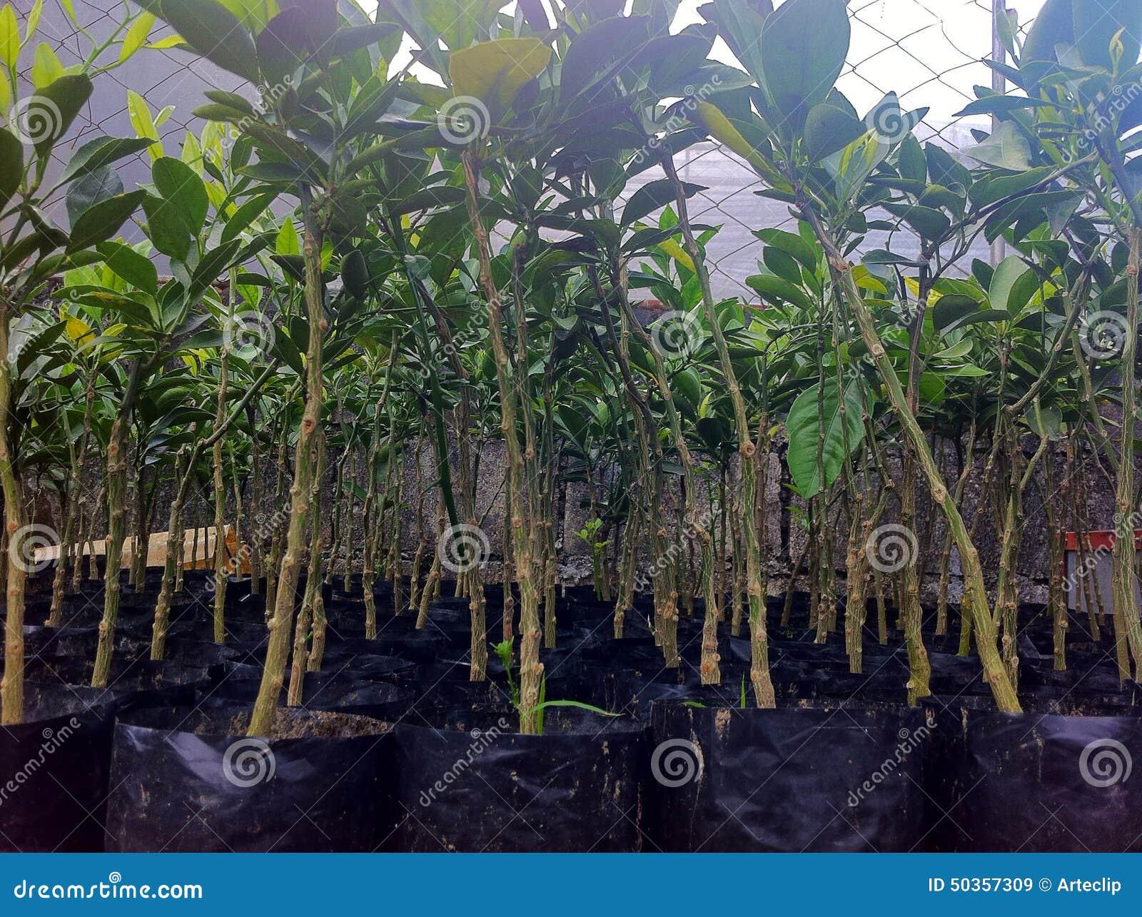 Citrus seedlings stock photo image 50357309 for When to transplant lemon tree seedlings