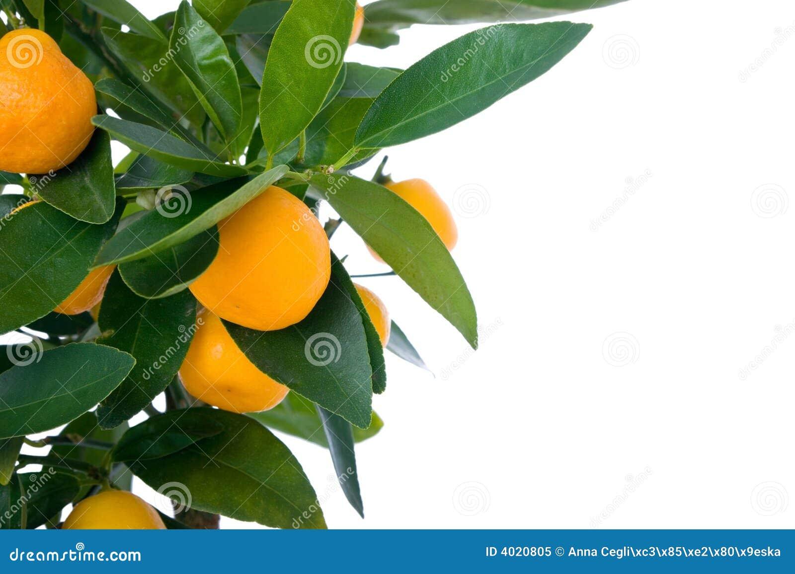 Citrus Tree With Fruit - Small Orange Royalty Free Stock ...