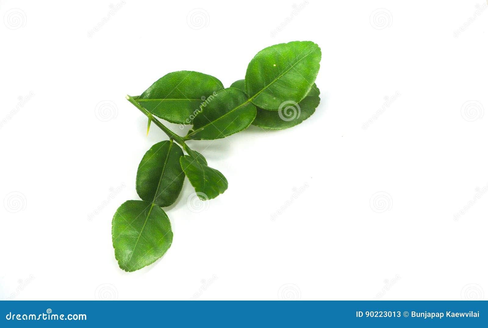 Citrust hystrixgräsplanblad