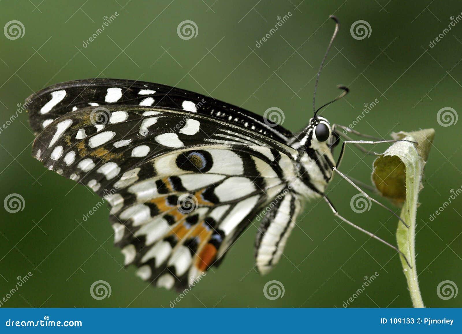 Citrusvrucht Swallowtail