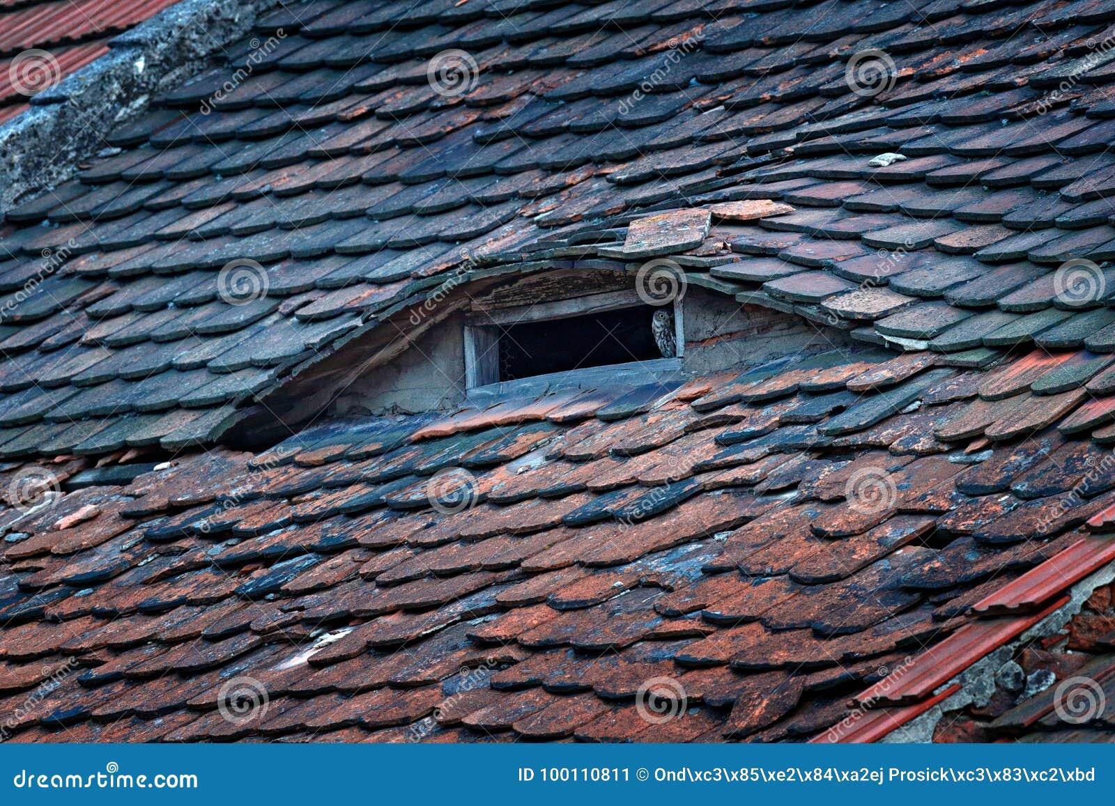 Civetta noctua delle atene uccello in vecchie mattonelle di tetto