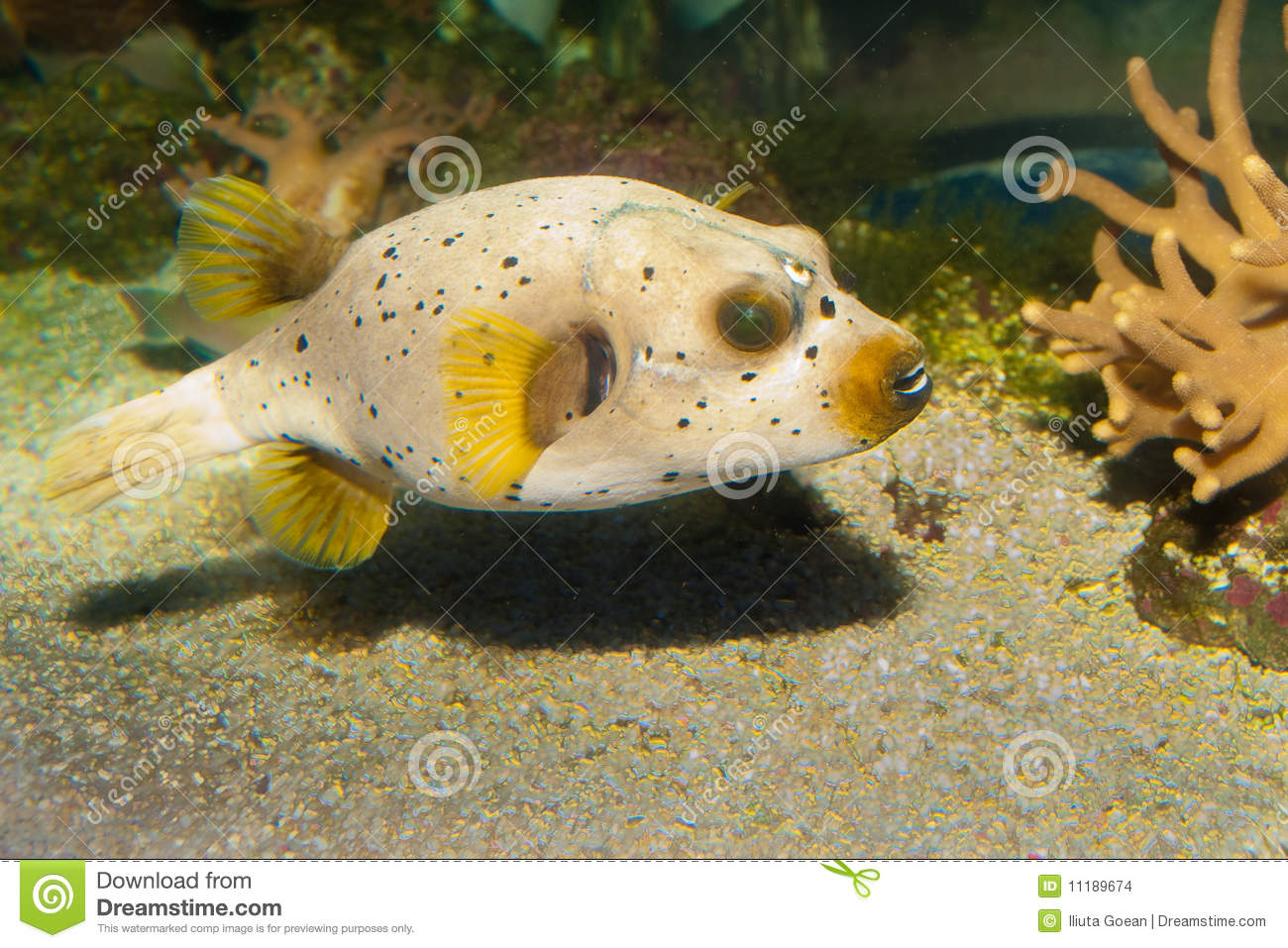 Ck spotted or dog faced puffer fish stock images image for Dog face puffer fish