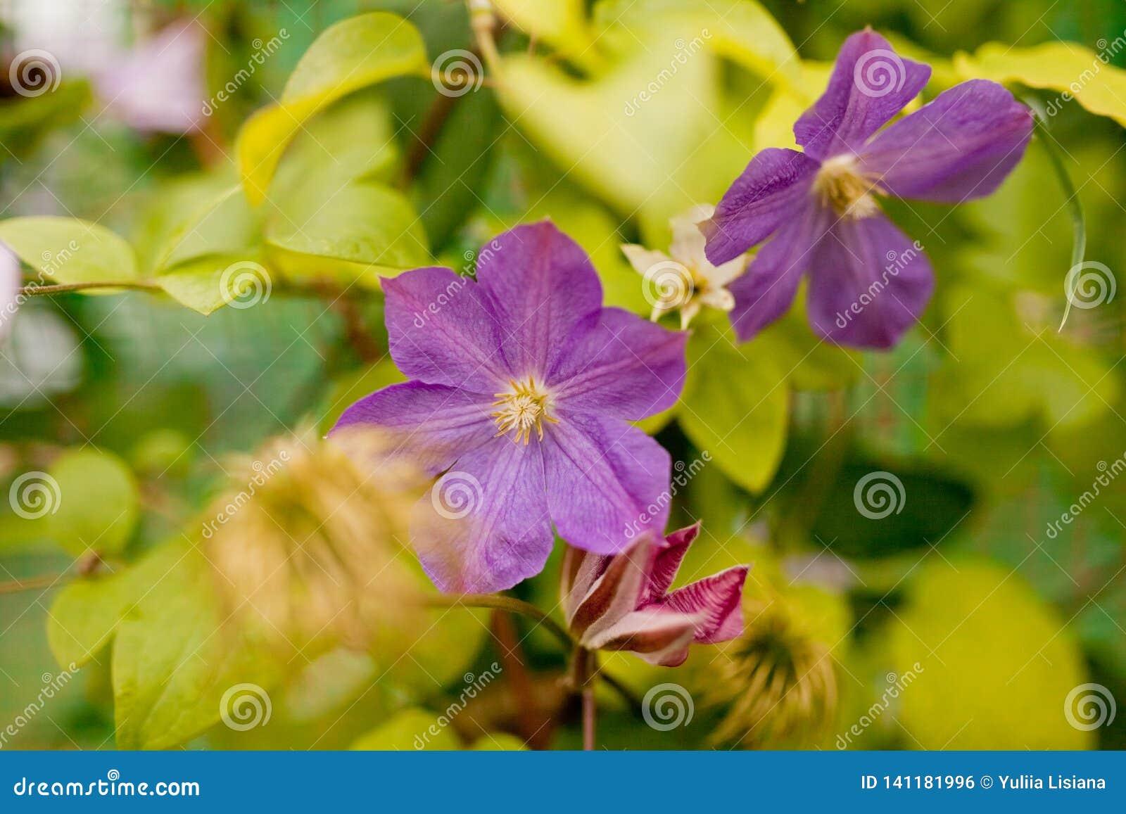 Clématite Grand-fleurie Les belles, grandes clématites pourpres fleurissent dans le jardin