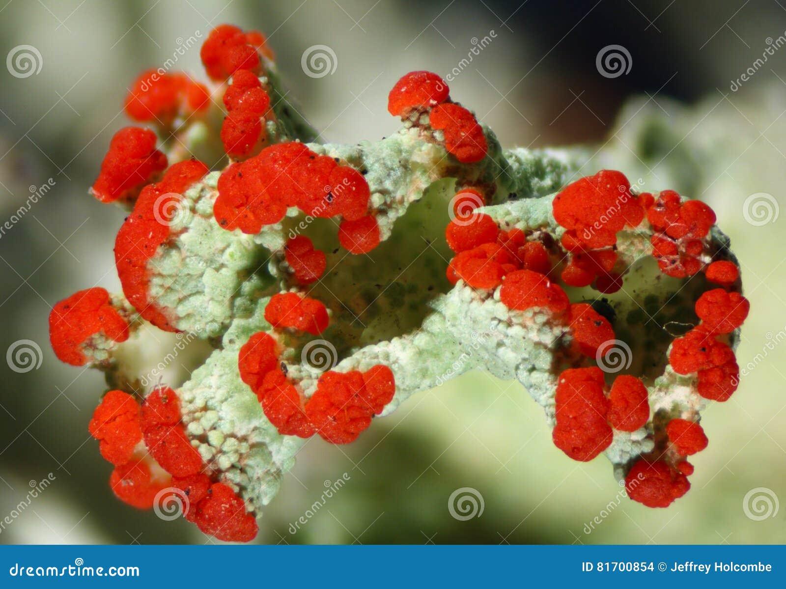 Cladonia pleurota lichen in Connecticut.
