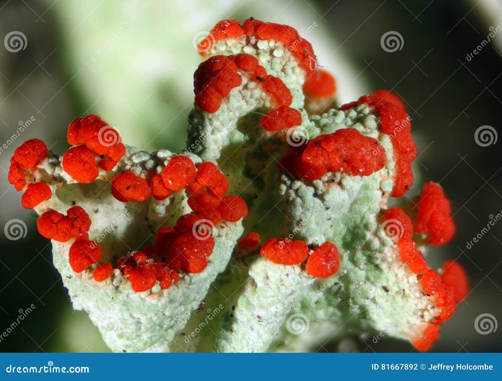 Cladonia pleurote, the British soldier lichen in Connecticut, with red apothecia.