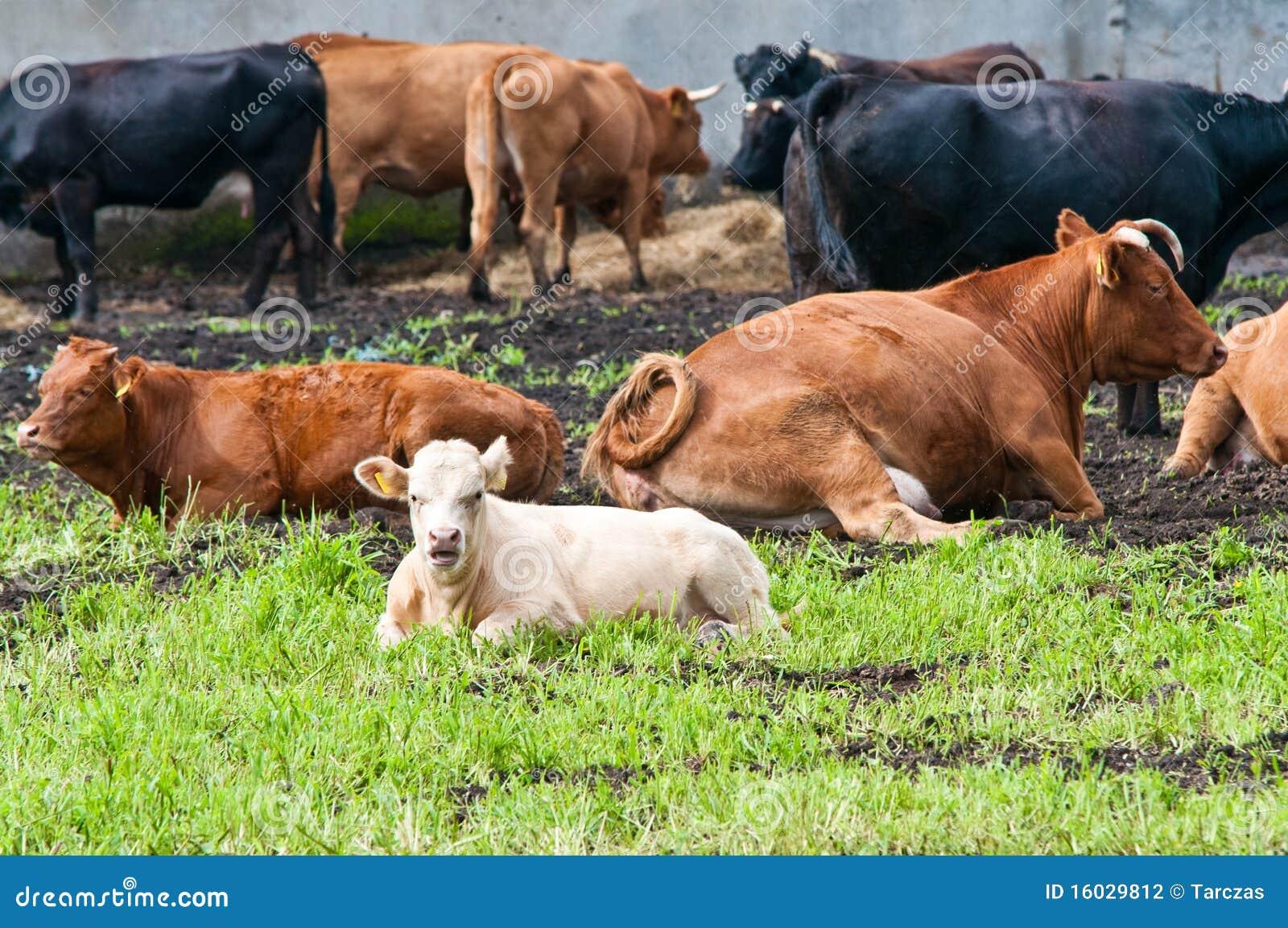 Claf und Kühe auf Molkerei