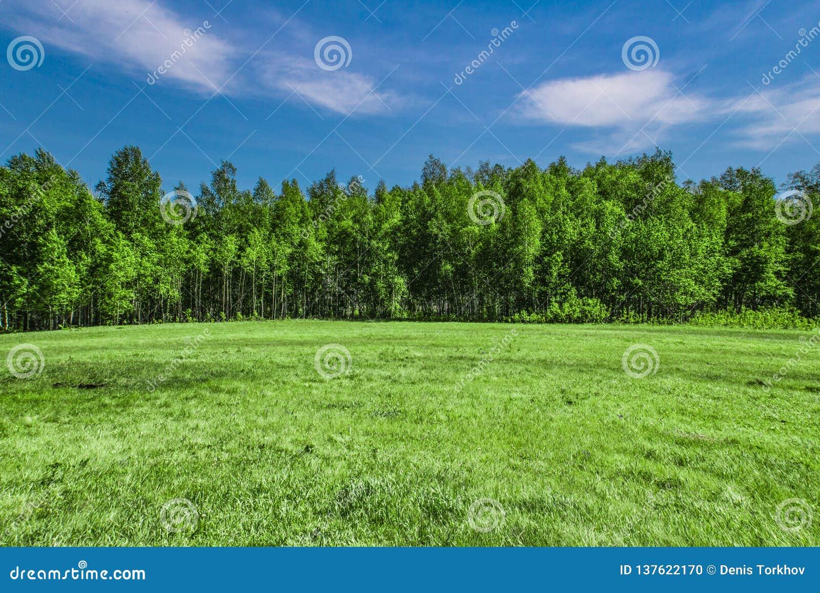 Clairière sur le fond de la forêt de bouleau
