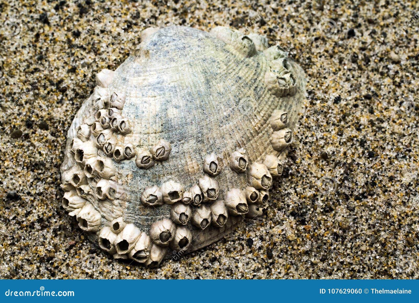 Clam Shell encrustó con las lapas