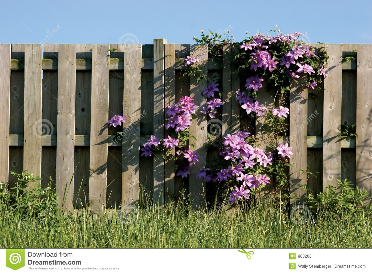 Clamatis Vine Climbing On Wooden Fence Stock Photo Image Of